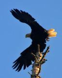 Rogue Eagle