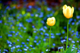 Two solitary tulips in a sea of blue, Chicago Botanical Garden