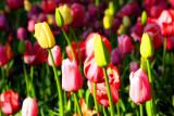 Tulips swaying, Chicago Botanical Garden