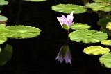 Lily, Chicago Botanical Garden