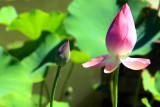 Lotus in Bloom, Chicago Botanic Garden