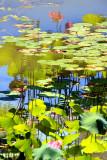 Water Lillies, Monet photo, Chicago Botanic Garden