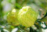 Puff flower, Chicago Botanic Garden