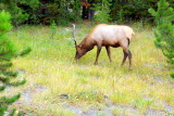 Elk, West Thumb area - Yellowstone National Park