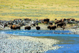 Bison refuelling in Lamar River, Lamar Valley - Yellowstone National Park