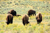 Bison grazing  - Yellowstone National Park