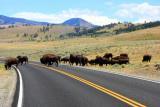 Bison in traffic  - Yellowstone National Park