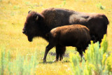 Feeding Bison  - Yellowstone National Park