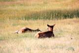 Deer in Hayden Valley - Yellowstone National Park