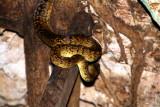 Jamaican Yellow snake, Green Grotto Caves, Runaway Bay, Jamaica