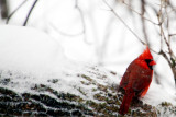 Northern Cardinal, Chicago, IL