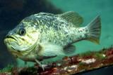 Monterey Bay Aquarium, CA - Rockfish