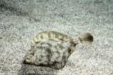 Monterey Bay Aquarium, CA - Sanddab