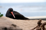 Monterey Bay Aquarium, CA -  Black oystercatcher