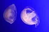 Monterey Bay Aquarium, CA - Moon Jelly