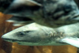Monterey Bay Aquarium, CA - shark