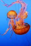 Monterey Bay Aquarium, CA - Sea Nettle jellyfish