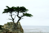 Lone Cypress, 17 Mile Drive, Monterey, California