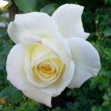 Chicago Botanic Garden - Rose
