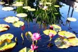 Chicago Botanic Garden - Waterlily