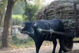 Sugarcane arrives by bullock cart