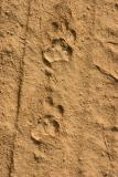 Leopard tracks, Rajaji National Park, Uttaranchal