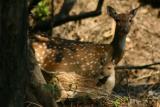 The Nilgai with her young, Rajaji National Park, Uttaranchal