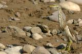 heron, Rajaji National Park, Uttaranchal