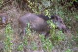 Wild boar, Rajaji National Park, Uttaranchal