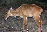 Deer Head on, Keoladeo National Park, India