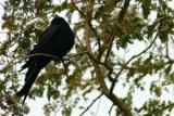 Black Drongo, Keoladeo National Park, India