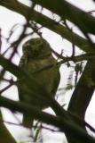 Wise little owl, Keoladeo National Park, India