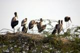 Nesting birds, Keoladeo National Park, India