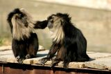 Lion tailed macaque, National Zoological Park, Delhi