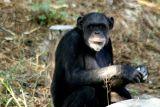 The Chimpanzee, National Zoological Park, Delhi