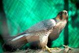 Peregrine Falcon, National Zoological Park, Delhi