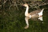 Duck, National Zoological Park, Delhi