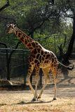 G is for Giraffe, National Zoological Park, Delhi