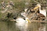 Spoonbill, National Zoological Park, Delhi