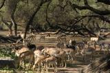Antelope, National Zoological Park, Delhi