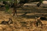 The hog deer, National Zoological Park, Delhi