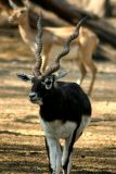 A is for Antelope, National Zoological Park, Delhi