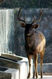 The Sambar deer has it's horns for protection, National Zoological Park, Delhi