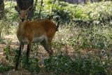 Barking Deer, National Zoological Park, Delhi