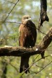 Kite, National Zoological Park, Delhi
