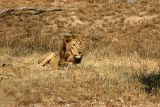 The King of the Jungle, National Zoological Park, Delhi