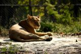 The Lioness, National Zoological Park, Delhi