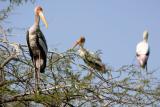 Painted Storks, National Zoological Park, Delhi
