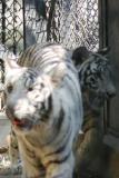 The rare White Tiger, National Zoological Park, Delhi