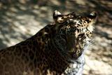 L is also for Leopard, National Zoological Park, Delhi